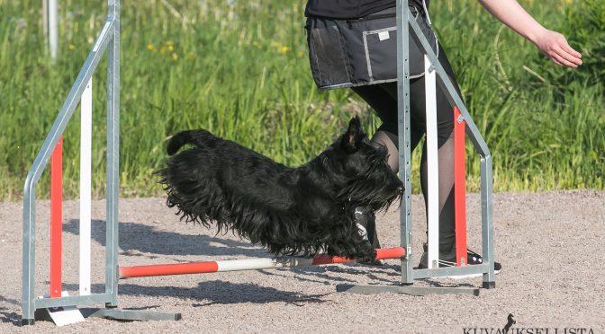 Kuvassa vuoden 2019 agility-skotti Ella -kuva Mikko Marttinen